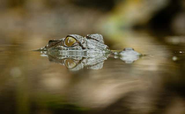 Crocodile eyes poking above the water.