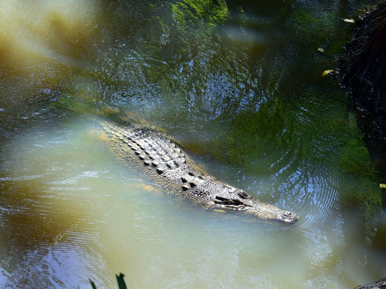 Saltwater crocodile swimming in a river.