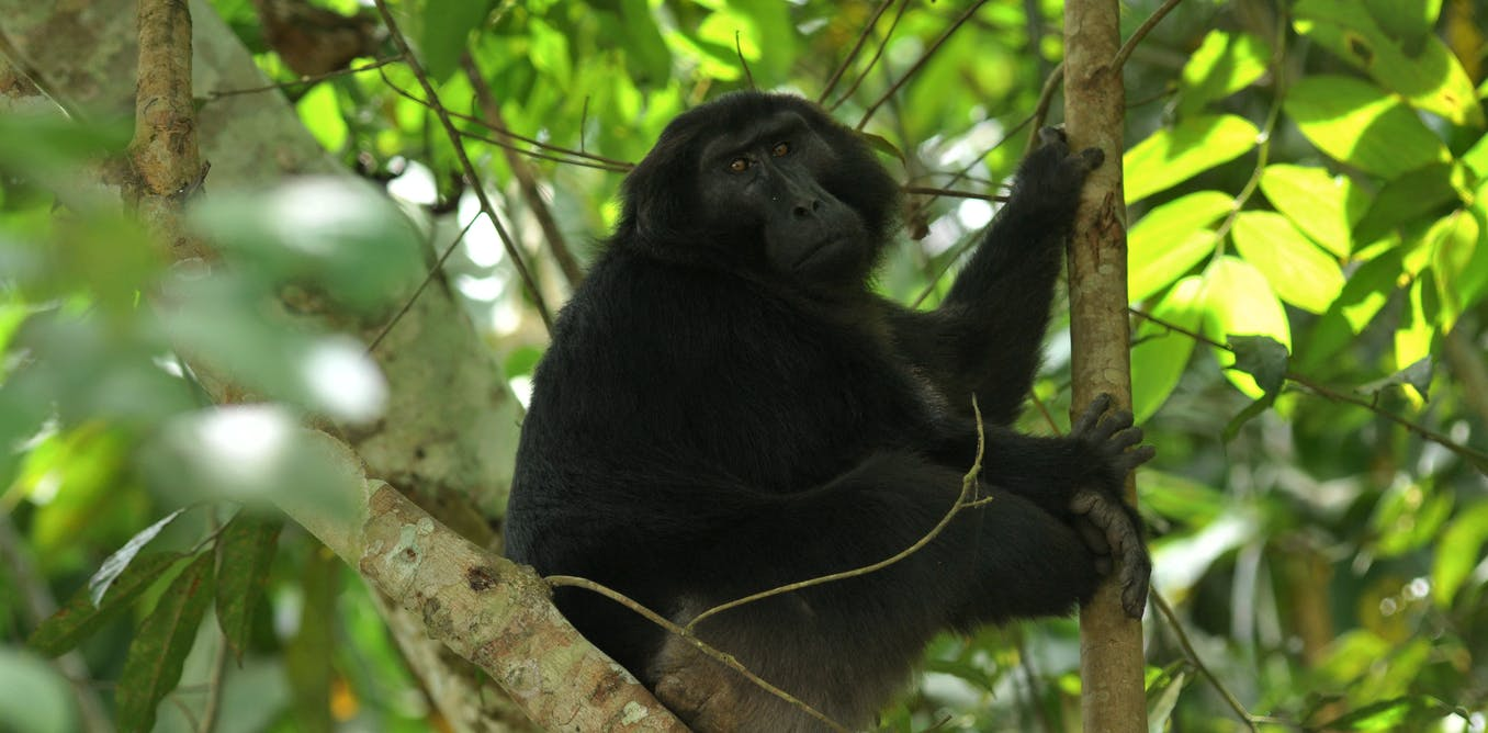 Deforestation on Indonesian island of Sulawesi destroys habitat of endemic primates
