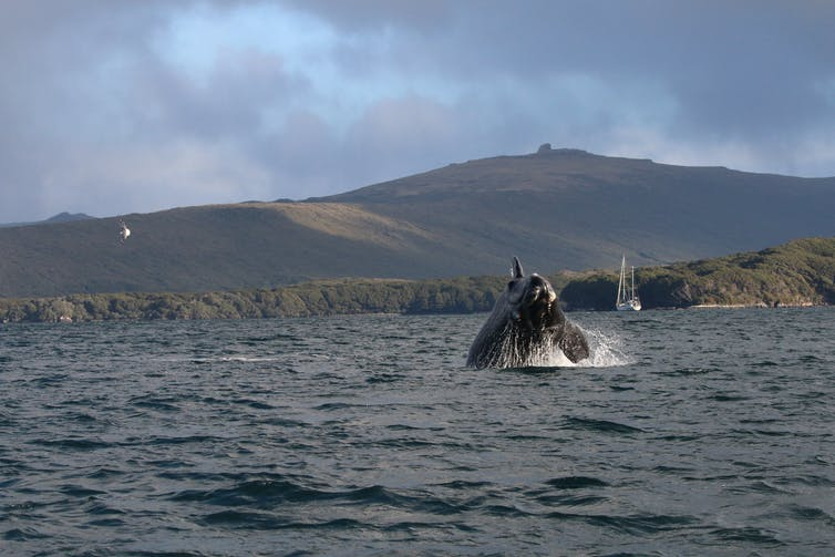 A southern right whale calf breaches in the subantarctic Auckland Islands.