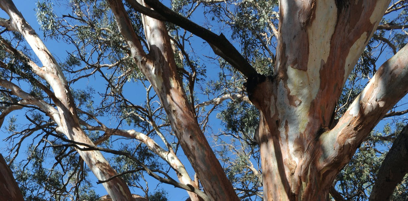 Friday essay: crafting a link to deep time from ancient river red gum