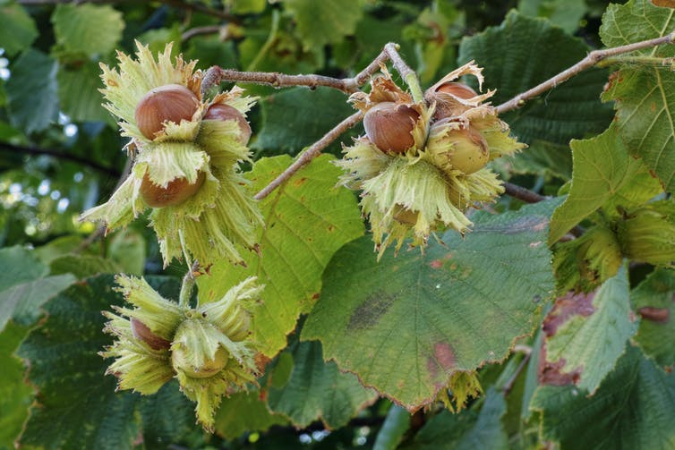 A cluster of hazelnuts on a tree.