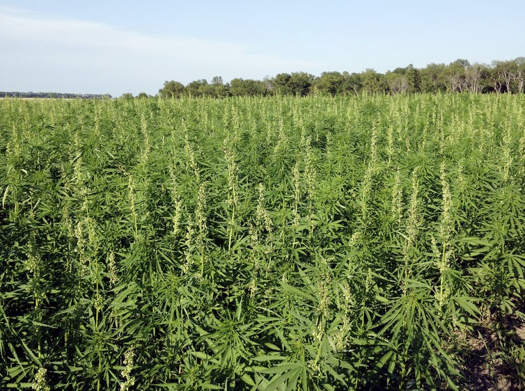 A field full of hemp.