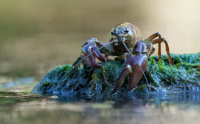 A signal crayfish sits atop a slimy green rock.
