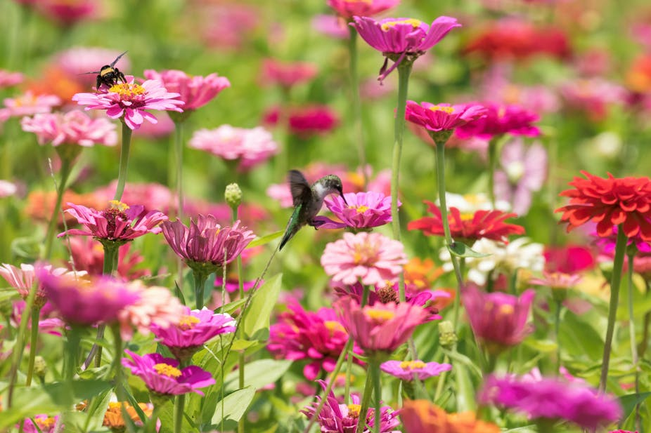 A hummingbird hovering over pink zinnia flowers.