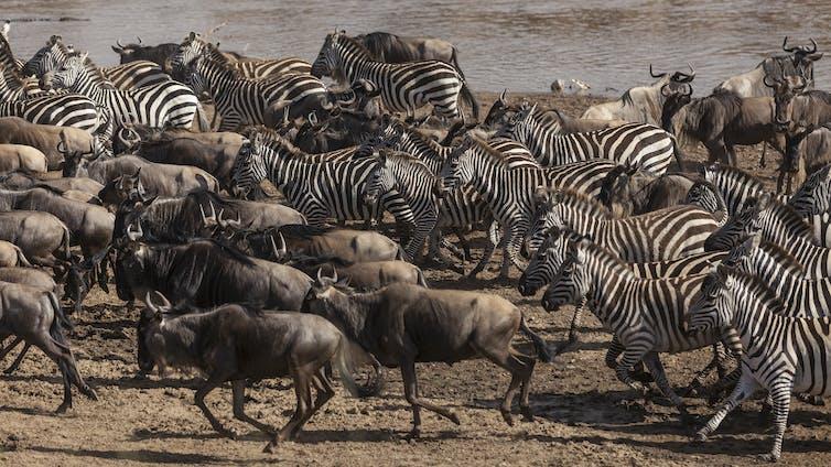 Wildebeest and zebra herds running.