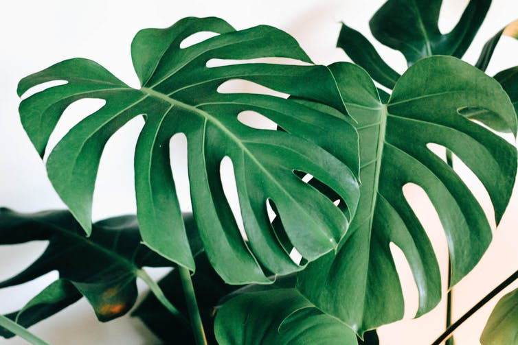 A large-leafed house plant with frilled edges.