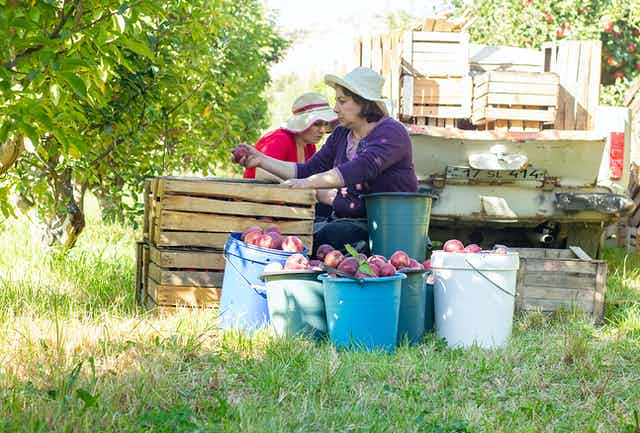 Dos mujeres recogiendo manzanas.