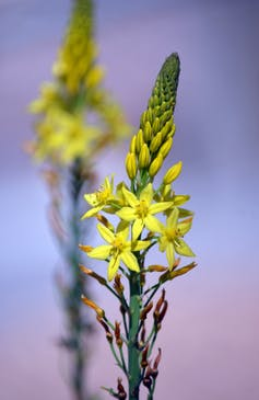 Bulbine lily