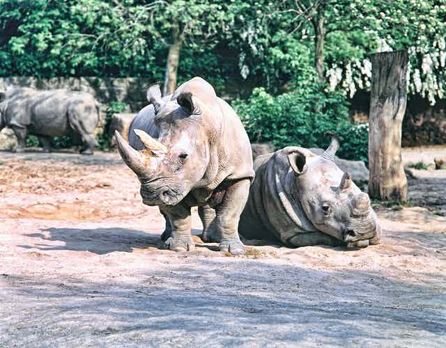 A pair of rhinos, one standing, one lying down.