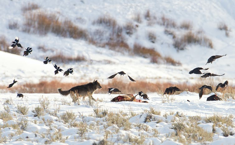 Wolf chasing scavenging birds from an elk carcass