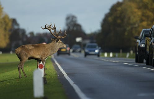 A stag waits to cross a road during rushhour