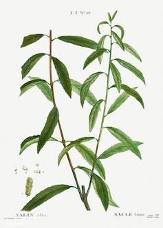 Botanical drawing of white willow