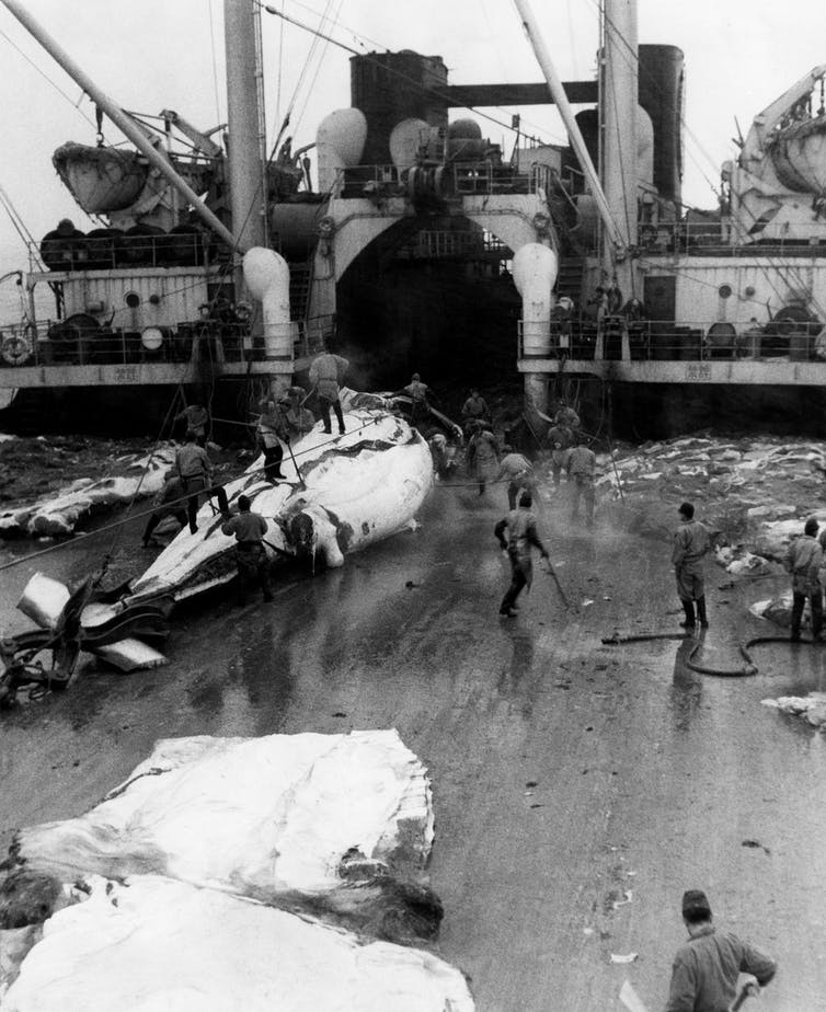 Three whale carcasses in various stages of dismemberment are on the deck of a large ship with men working on them.