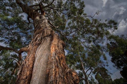 Indigenous scar tree on ANU campus
