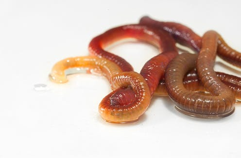 Earthworms on white background.