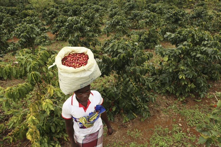 A woman carries harvested coffee beans on her head.