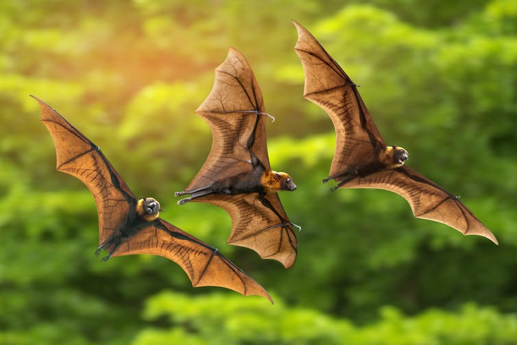 Three bats flying above trees.