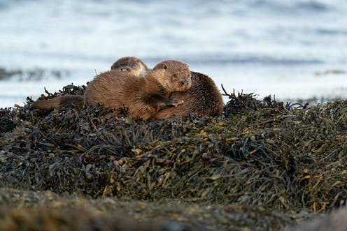 Two sea otters huddling on a bed of kelp.