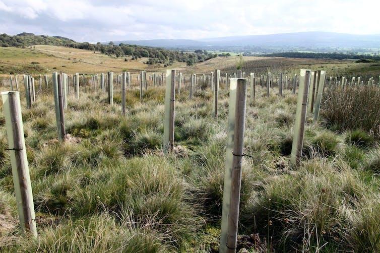 Rows of protected seedlings.