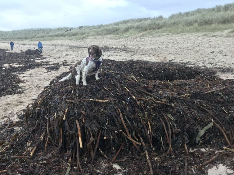 A dog sits on top of a pile of kelp on a beach.