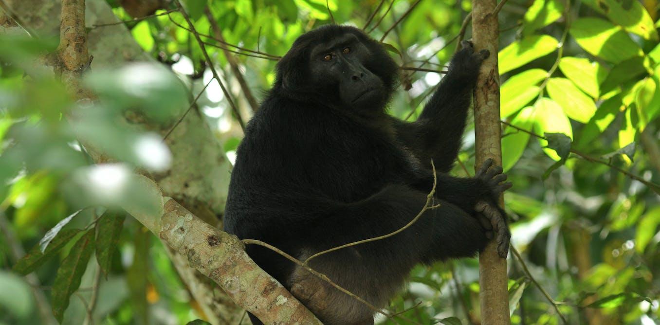 Riset: penebangan hutan di Sulawesi merusak habitat monyet dan kera lokal