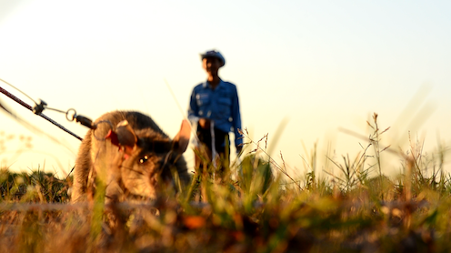a ground level photo of a rat sniffing out landmines in Cambodia.  The rat handler stands in the background.