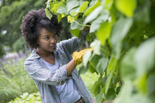 Woman picking beans in vegetable plot