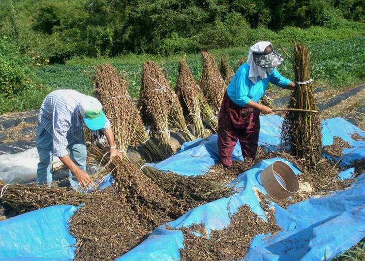 A pair of farmers threshing sesame plants during a heatwave in South Korea