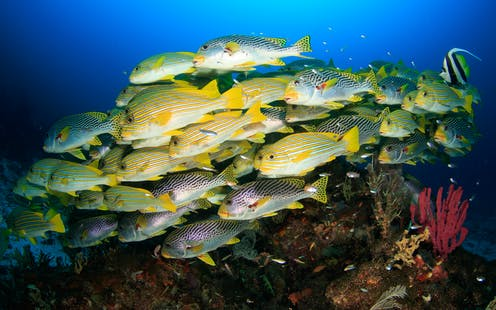 Large yellow and white striped fish swim in a school.
