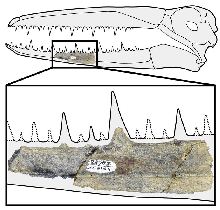 Photo of a fossil fragment of a jawbone section that has worn toothlike projections. Line drawing around it illustrates where in the jaw it would have fit.