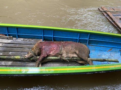 A dead wild boar on a small boat.