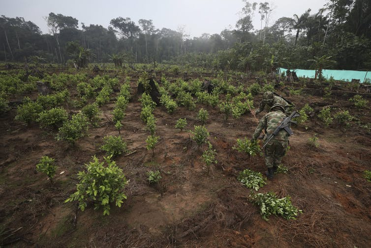 Soldiers uproot green coca shrubs.