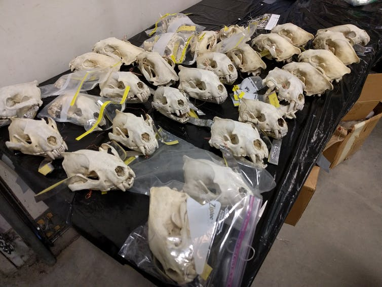 three rows of animal skulls