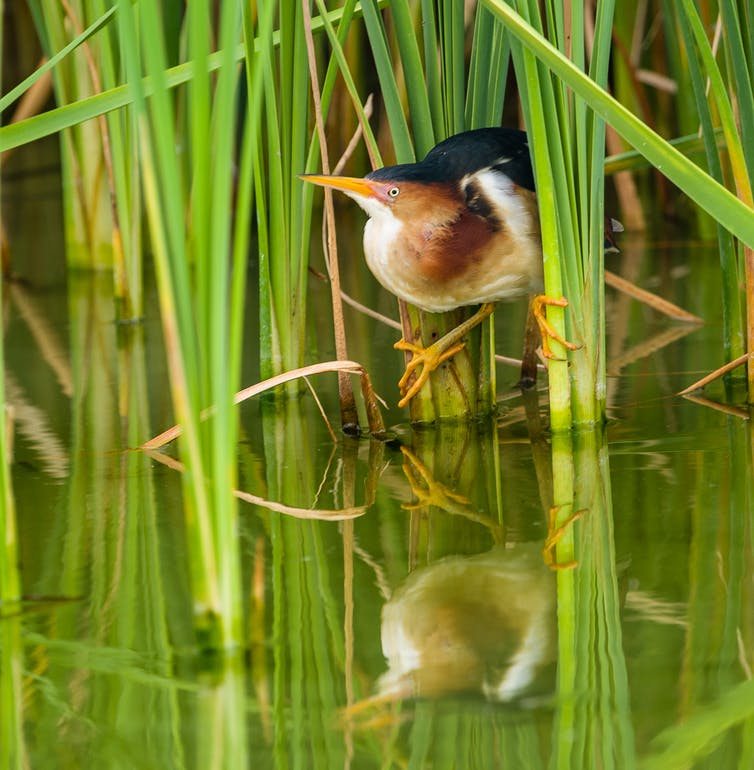 Least bittern in marsh grass