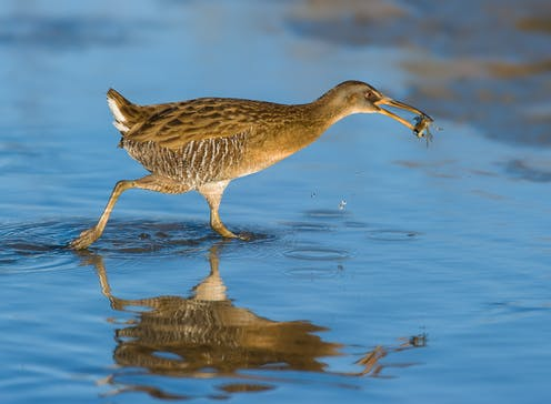 Marsh bird with small crab