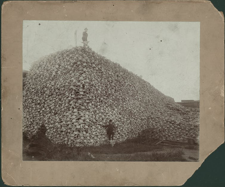 Man stands on top of enormous pile of buffalo skulls; another man stands in front of pile with his foot resting on a buffalo skull; rustic cage is at foot of pile.