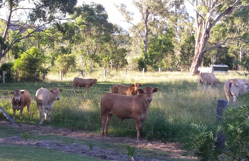cows in a field surrounded by gum trees