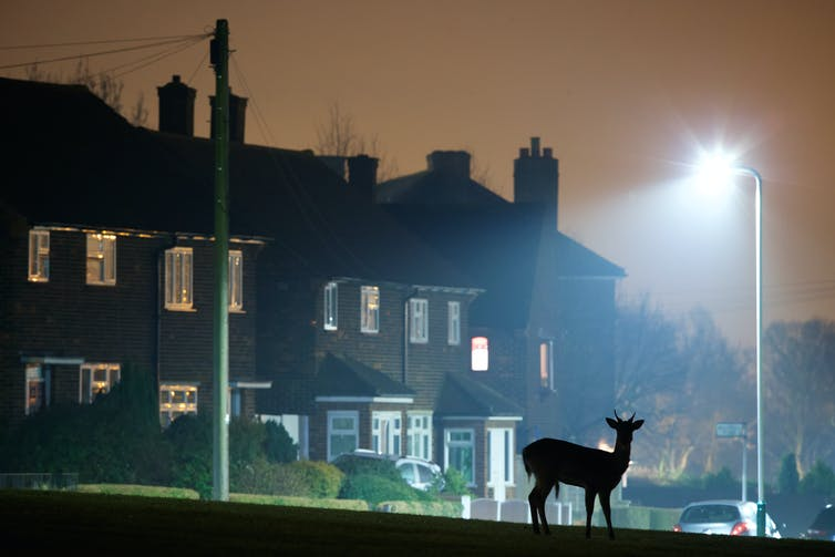 A fallow deer silhouette with street lights and terraced housing in the background at night.