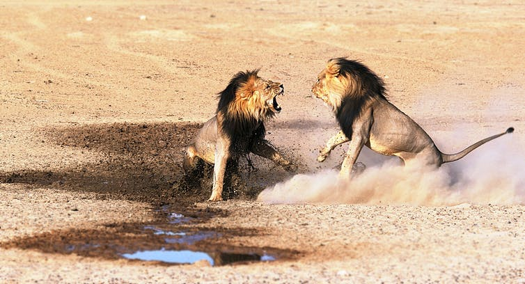 Two lions fighting in a desert.