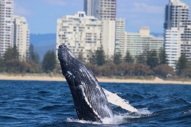 Breaching humpback whale in front of buildings