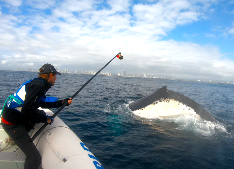 The author holding a rod to tag a whale