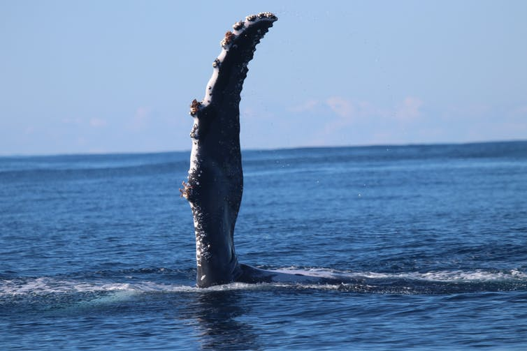 A humpback whale fin