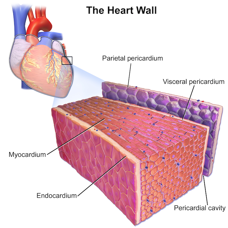 Illustration of the heart wall