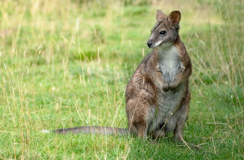 a wallaby in a grassy field