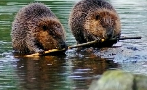 Two beavers chewing.
