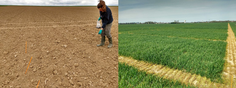 Left: a scientist spreads fertiliser on soil. Right: the same area with short, green crops growing.