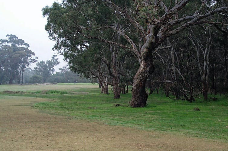 Trees along a golf fairway