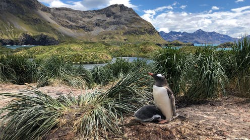Penguin and baby in grassy landscape.