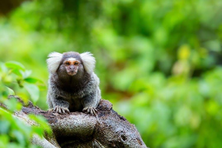 Un ouistiti assi sur une branche d'arbre.